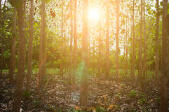 Sun beams pour through trees in forest Stock Photography