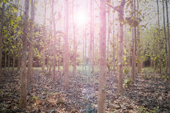 Sun beams pour through trees in forest Stock Photos