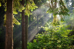 Sun beams pour through trees in green forest. Summer time royalty free stock image