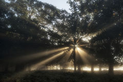 Sun beams shining through trees in forest on foggy Autumn Fall s Royalty Free Stock Images