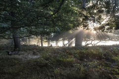 Sun beams shining through trees in forest on foggy Autumn Fall s Stock Photography