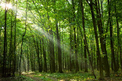 Sun beams in spring forest Royalty Free Stock Photo