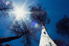 Sun beams between tall trees Royalty Free Stock Images