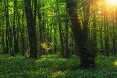 Sun beams through thick trees branches in dense green forest. Landscape stock image