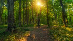 Sun beams through thick trees branches in dense green forest. Landscape stock images