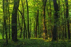 Sun beams through thick trees branches in dense green forest. Landscape royalty free stock photography