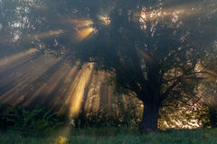Sun beams thorough trees and greens Royalty Free Stock Images