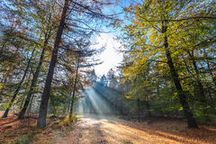 Sun beams through a tree in a forest Royalty Free Stock Photography