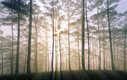 Sun beams through tree make beautiful sunray. Fantastic foggy forest with pine tree in the sunlight. Sun beams through tree. Beauty world Royalty Free Stock Photos