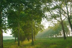 Sun Beams through Trees Royalty Free Stock Photography