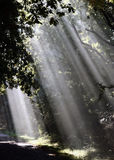 Sun beams through trees. Sun beams through leaves of trees in forest Royalty Free Stock Photo
