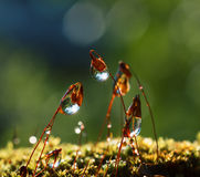 Sun beams  in water drops on forest moss Stock Photography