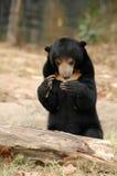 Sun bear Royalty Free Stock Photography