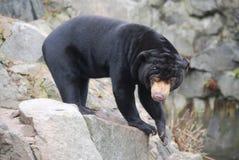Sun Bear Stock Photography