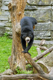 Sun Bear. The sun bear (Ursus malayanus), also known as the honey bear, on the tree stock images
