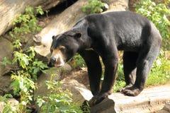 Sun bear. The sun bear standing on the wood Royalty Free Stock Photo