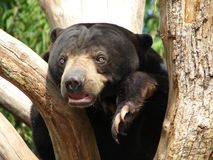 Sun bear. This is a picture of a Malaysian sun bear Royalty Free Stock Photography