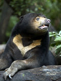 Sun Bear Stock Image