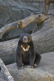 Sun Bear. Sitting down resting on the rocks Royalty Free Stock Image