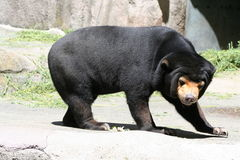 Sun bear. Funny looking malaysian bear Royalty Free Stock Photography