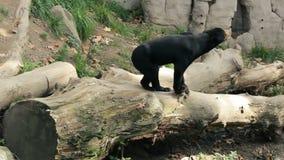 Sun bear also known as a Malaysian bear. (Helarctos malayanus stock footage