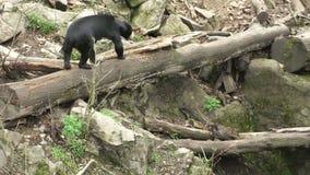 Sun bear also known as a Malaysian bear Helarctos malayanus stock video footage