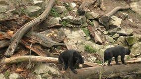Sun bear also known as a Malaysian bear. (Helarctos malayanus stock video