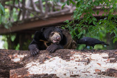Sun bear black crow Royalty Free Stock Photo