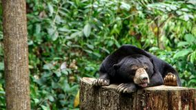 Sun bear borneo. The sun bear Helarctos malayanus is a bear found in tropical forest habitats of Southeast Asia. It is classified as Vulnerable by the Royalty Free Stock Images