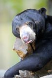 Sun Bear Royalty Free Stock Photography