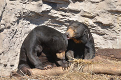 Sun bear couple 2. A male and female sun bear cuddle Royalty Free Stock Image
