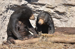 Sun bear couple 2. A male and female sun bear sit together near a log Stock Image