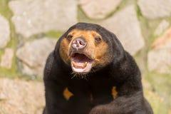 Sun bear Royalty Free Stock Images