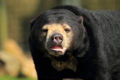 Sun bear detail Stock Photography