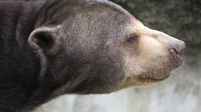 Sun Bear Dreams Time. The Sun Bear  Listens , Sees And Smells  By A Water Side At Zoo Miami Royalty Free Stock Image