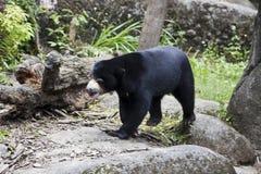 Sun Bear,Helarctos malayanus Royalty Free Stock Image