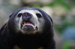 Sun Bear (Helarctos malayanus) Stock Photography