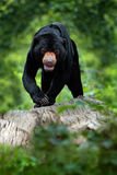 Sun bear, Helarctos malayanus, beautiful danger animal from Asia tropic forest. Portrait of Malayan Sun Bear in the green nature h Royalty Free Stock Image