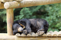 Sun bear, Helarctos malayanus Stock Photo