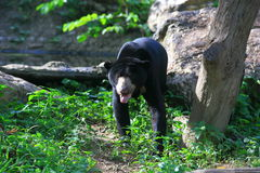 Sun bear Royalty Free Stock Photo