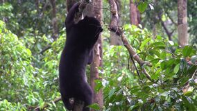Sun Bear Helarctos malayanus Looking for Food. Shot with a Sony a6300 fps29,97 4k stock video