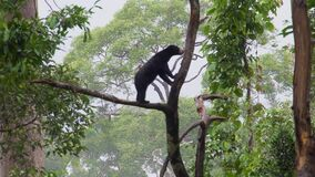 Sun Bear Helarctos malayanus Looking for Food. Shot with a Sony a6300 fps29,97 4k stock footage