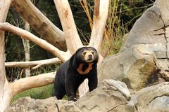 Sun Bear (Helarctos malayanus). Sean the Sun bear at Wellington Zoo, NZ. Sun bears are under threat both directly and indirectly from human activities. One of stock photo