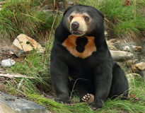 Sun Bear (Helarctos malayanus) Royalty Free Stock Photography