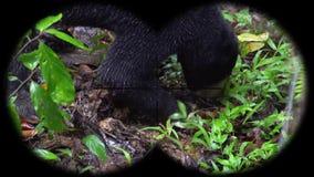 Sun bear helarctos malayanus seen through binoculars. Watching animals at wildlife safari. Shot with a Sony a6300 fps 29,97 4k stock video