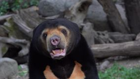 Sun Bear Helarctos malayanus. Shot with a Sony RX10 IV 29,97 fps 4k stock video