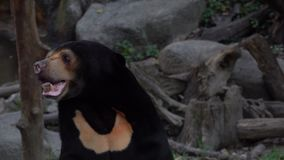 Sun Bear Helarctos malayanus. Shot with a Sony RX10 IV 29,97 fps 4k stock video footage