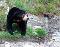 Sun Bear (Helarctos malayanus). At Wellington Zoo, New Zealand Stock Photo