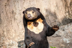 Sun Bear Royalty Free Stock Image