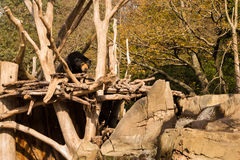 Sun Bear Home Stock Photography